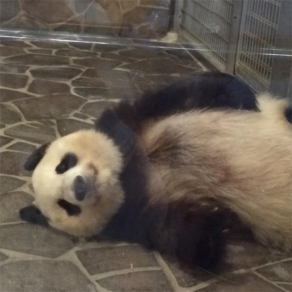 こちらを向いて寝そべるパンダの顔がよく見える写真
