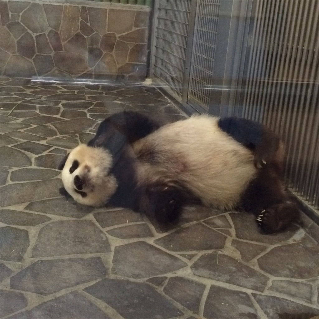 寝そべるパンダの体全体が見える写真