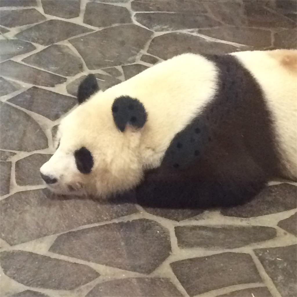 うつぶせに寝そべっているパンダの写真
