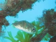 手作りと海の生物大好きダイバーのブログ-ハリセンボン