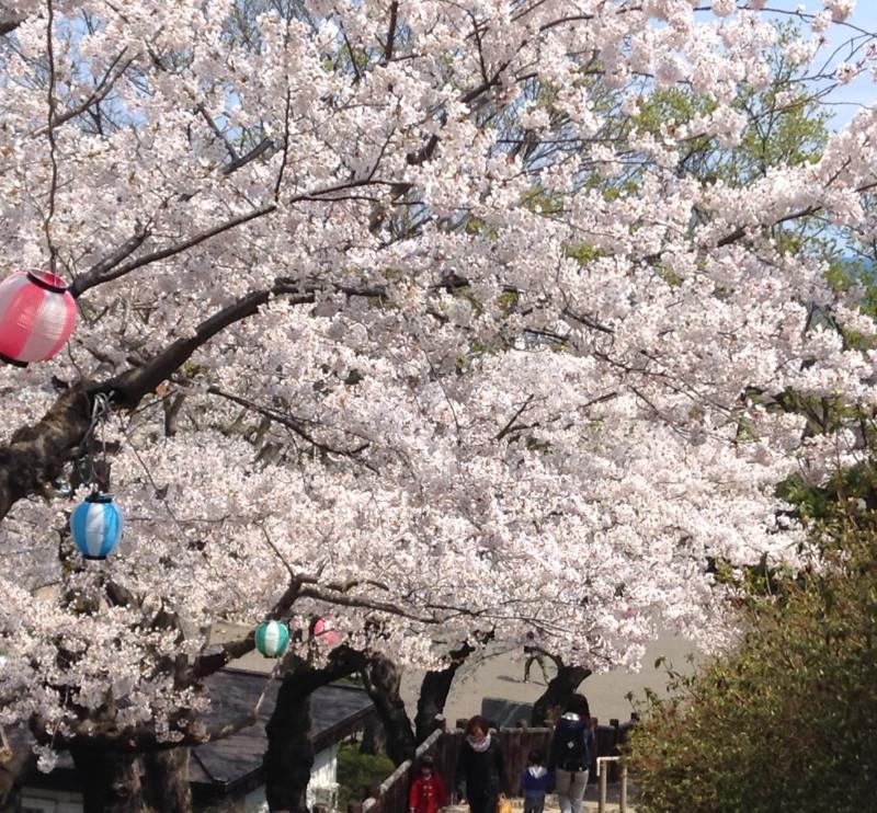 函館公園の桜写真