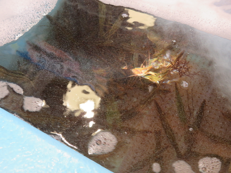 水槽にいる北海シマエビの写真