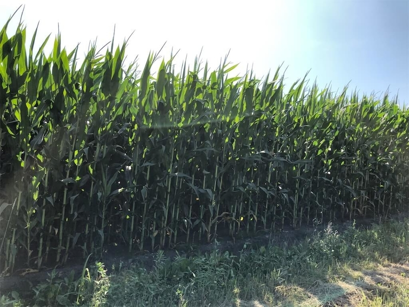 東丘通り踏切トウモロコシ畑の写真