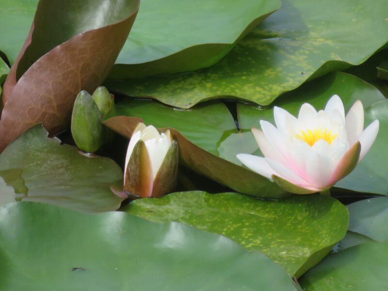 大沼の蓮の花の写真