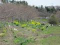 [船橋][長津川]長津川緑地の菜の花