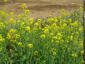 [春][長津川]長津川緑地の菜の花
