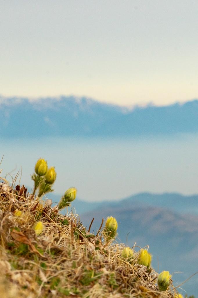 ツクモグサに会えた八ヶ岳5座縦走三日間、ありがとう!