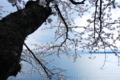 京都新聞写真コンテスト 琵琶湖を見守る桜
