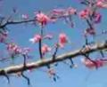 おキバりpark脇の…河辺に♪ 河津桜姫サマ♪開花ぢゃ*2