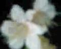 亀ヲタ天満宮♪ やわらかな桜色… 紅冬至サマ♪