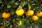 01/09(月)【愛媛県伊予市下三谷】  「橙」 V35