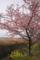 02/26(日)【愛媛県伊予市下三谷】  「早咲」   V35
