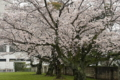 04/07(金)【愛媛県新居浜市久保田町】  「桜」