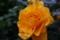 05/12(金)【愛媛県伊予市下三谷】  「バラ」  Rx
