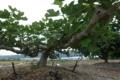 06/06(火)【愛媛県伊予市下三谷】  「いちぢく」  Rx