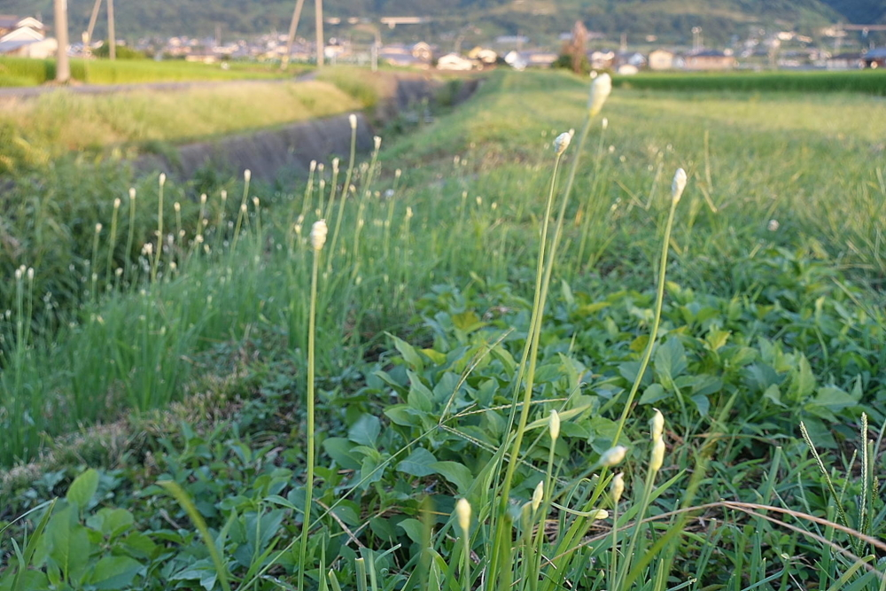09//01(金)【愛媛県伊予市下三谷】  「畔」  Rx