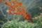 11/26(日)【広島県大竹市玖波町】  「紅葉」  Rx