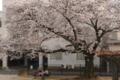 3/29(木)【山口県岩国市昭和町】 「さくら」  Rx