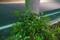 5/16(水)【山口県岩国市麻里布町】 「植木 クロガネモチ」 Rx