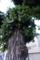 5/17(木)【山口県岩国市元町】 「植木 イヌツゲ」 Rx