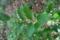 5/19(土)【山口県岩国市日の出町】 「植木 ネズミモチ」 Rx