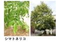 シマトネリコ (羽状 対生 全縁 常緑)