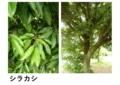 シラカシ  (不分裂  互生  鋸歯  常緑)