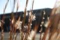 11/4(日)【山口県岩国市日の出町】 「綿毛」 Rx