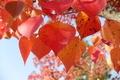 11/10(土)【広島県大竹市東栄】 「紅葉」 Rx