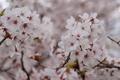 3/31(日)【広島県廿日市市大野】 「桜」 V75