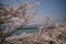 4/6(土)【愛媛県伊予市双海町上灘】 「瀬戸の桜」 Z18