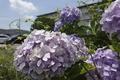 7/4(木)【広島県大竹市東栄】 「アジサイ」 Rx6