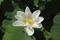 8/17(土)【愛媛県伊予市下三谷】 「蓮の花」 Rx6
