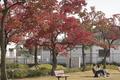 11/13(水)【広島県大竹市東栄】 公園の紅葉」 Rx6