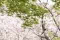 4/11(土)【山口県岩国市新港町】 「春爛漫」 NP