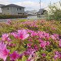 4/27(月)【広島県大竹市東栄】 「ツツジ」 FV