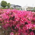 5/26(火)【広島県大竹市東栄】 「ツツジ」 FV