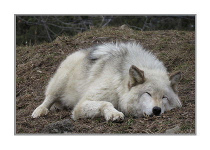 疲れたオオカミの画像