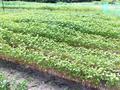 古代村の蕎麦畑