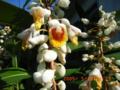 民宿・パナリヤンブジーナの朝の月桃の花