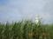 波照間島・灯台(2005.5.18)