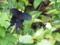 宮古島・西原での黒蝶(2005.5.20)