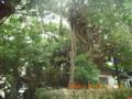 宮古島・はり水御嶽のガジュマル