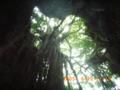 ガンガーラの谷の神木・ガジュマル
