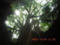 神が降臨しそうなガンガーラの谷の神聖なガジュマル