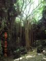 ガンガーラの谷の神木・巨大ガジュマル