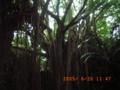 ガンガーラの谷の巨大ガジュマル