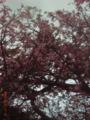 那覇・桜坂のトックリキワタの桃色花が満開だった
