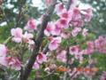 石垣島バンナ公園の寒緋桜