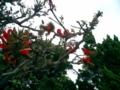 久米島・宇根のデイゴ花